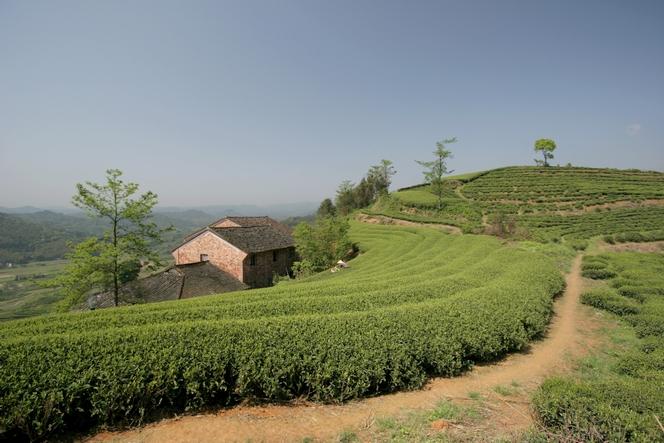 Les rangées de théiers à Fuding