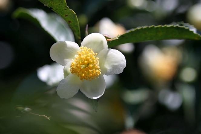 La fleur du théier ressemble à un camellia