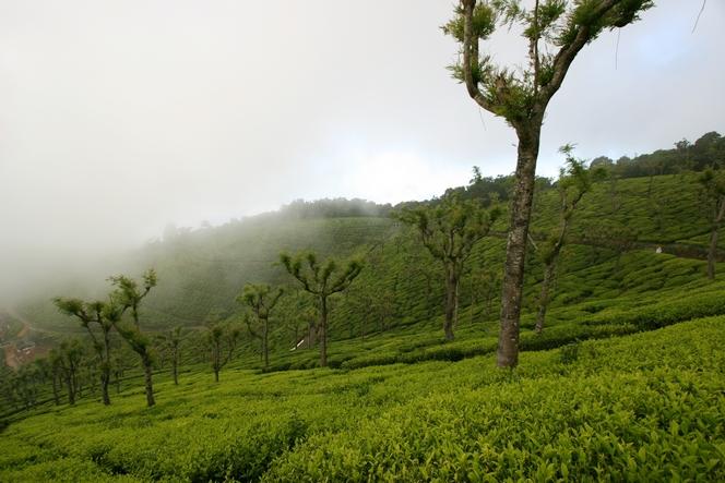 Plantation de thé dans la brume