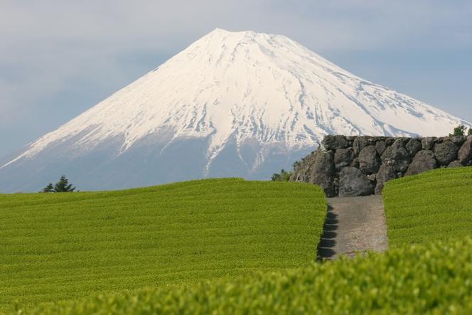 Les plantations de thé bordent le Mont Fuji