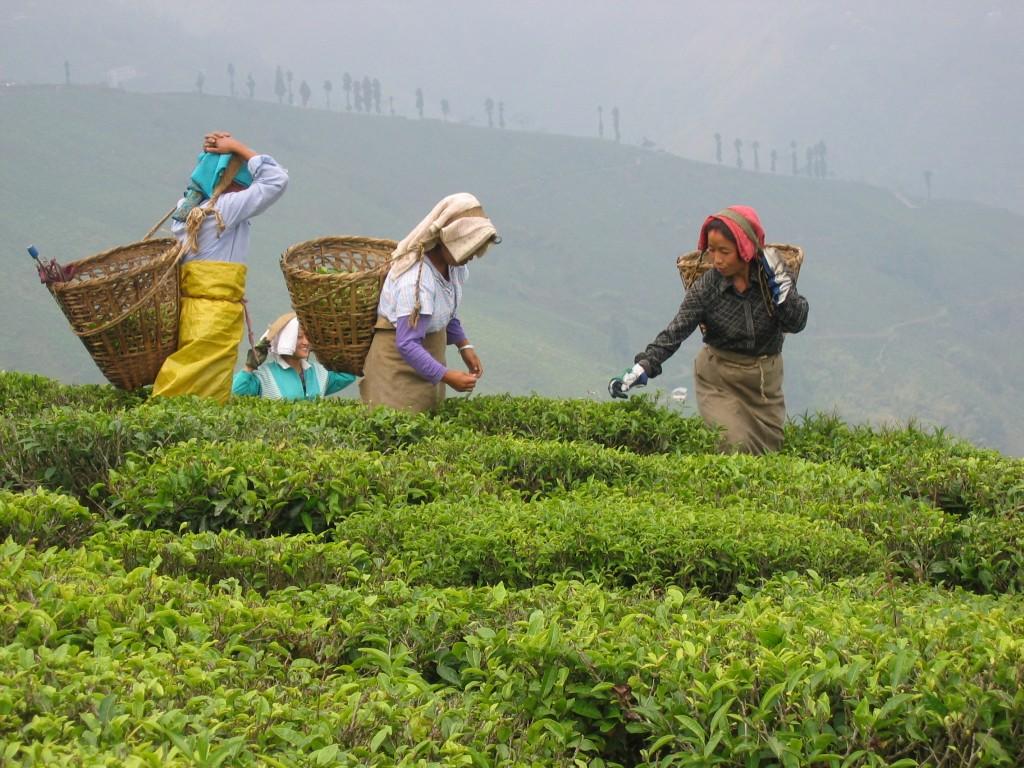 Cueilleuses de thé à Puttabong