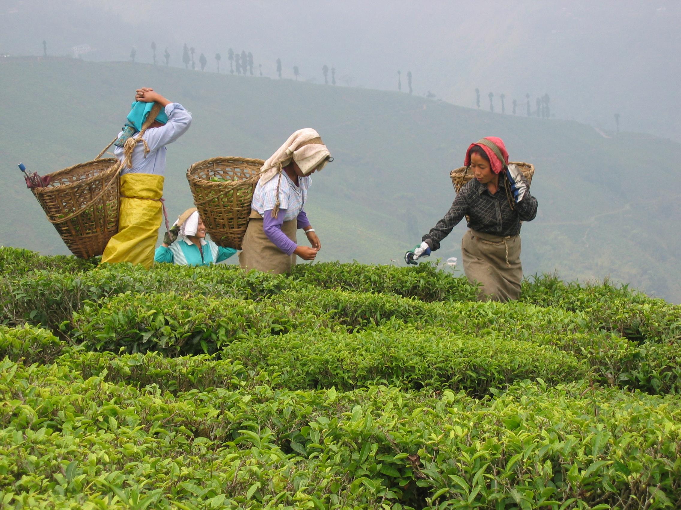 Le thé a besoin de soins délicats