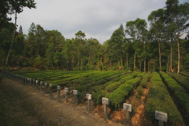 Cultivars de théiers à Fang Qing (Chine)