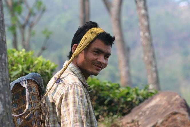 Cueillette du thé pour les hommes au Népal