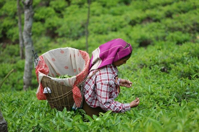 Les cueilleurs de thé s'aident de tiges en bambou