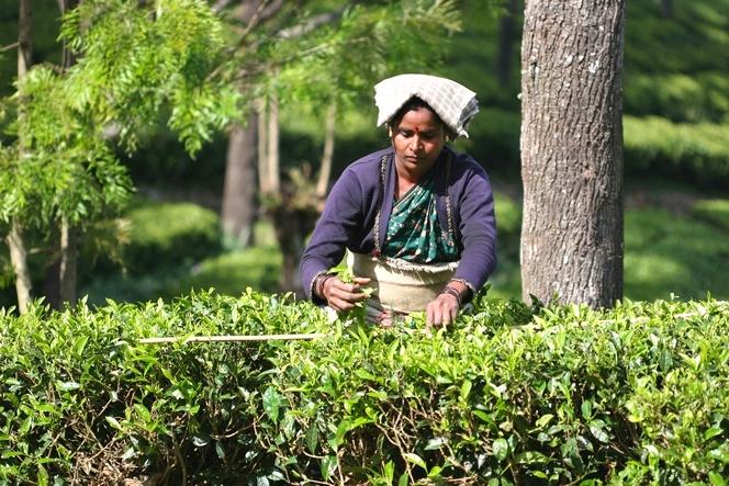 Une ingénieuse astuce pour bien récolter le thé