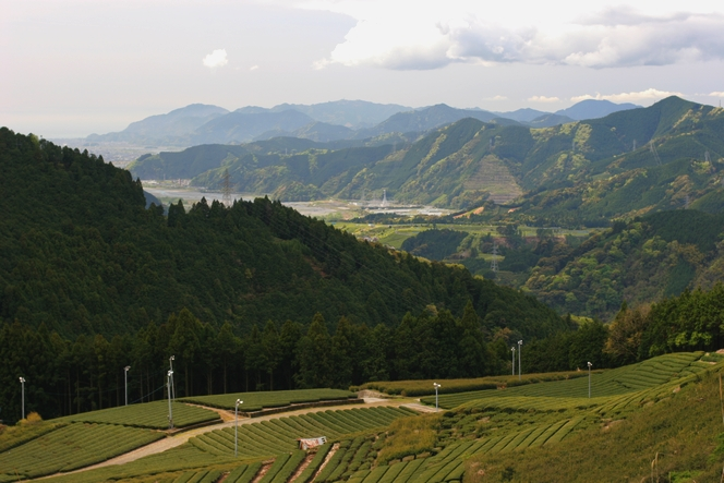 Au Japon, la récolte du thé est bien tardive