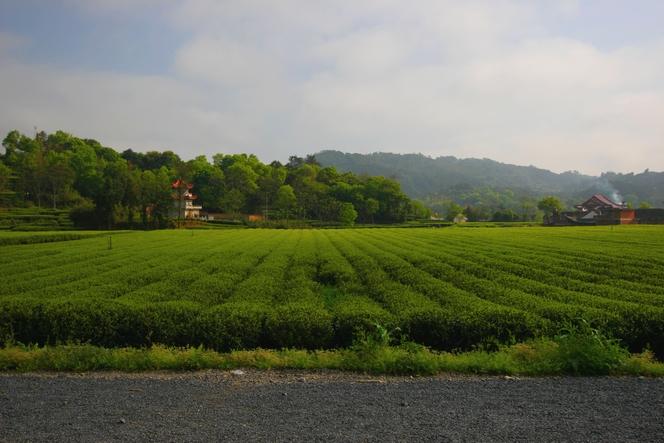 La Chine, berceau du thé