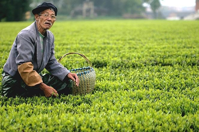 Cueilleur de thé chinois portant un manchon pour se protéger du Camellia