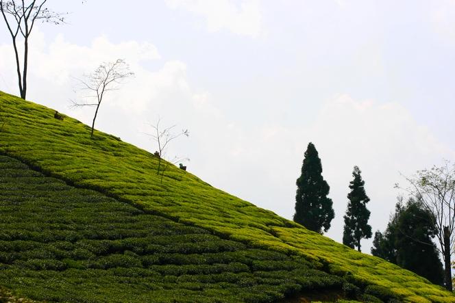 Le théier se cultive sur un terrain en pente
