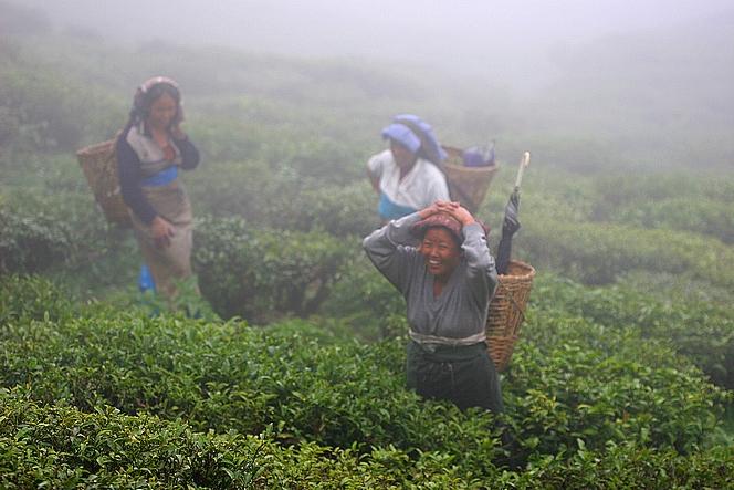 Cueilleuses de thé en pleine rigolade dans la brume de Badamtam