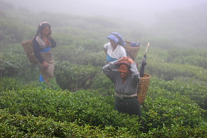 Cueilleuses de thé dans la brume de Badamtam
