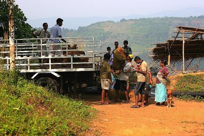 Paysans vendant leurs feuilles de thé fraîches