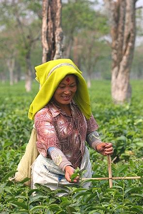 Une joyeuse cueilleuse de thé à l'allure de missionnaire