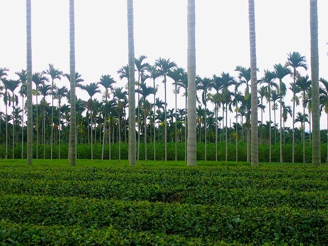 Sous les palmiers de Nantou, le thé Dong Ding