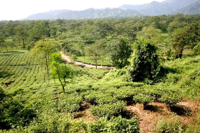 Paysage de la plaine du Teraï où le bon thé n'est guère cultivé.