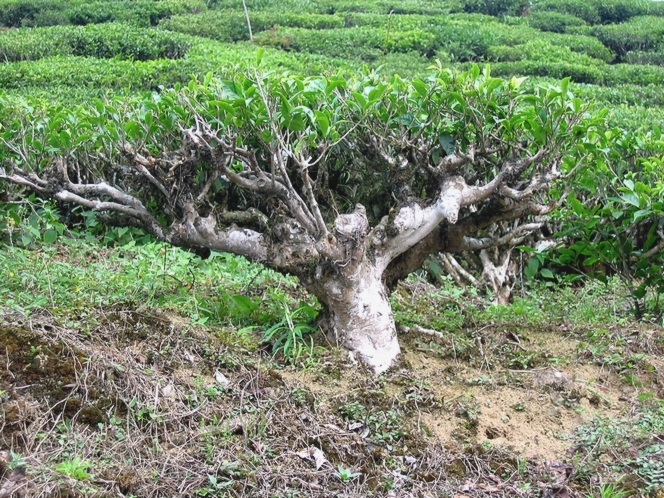 Théier ressemblant à un bonsaï