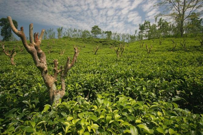 Dans une plantation de thé, on taille aussi les arbres
