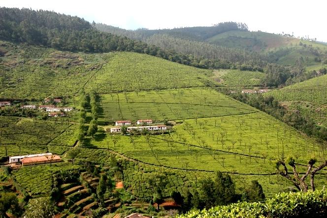 Plantation de thé formant un petit village en Inde.