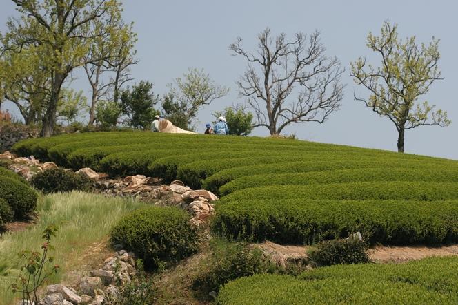 Famille japonaise entrain de récolter un thé vert sencha.