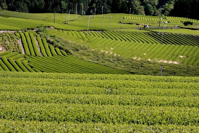 Au Japon, des rangées de théiers parfaitement alignés