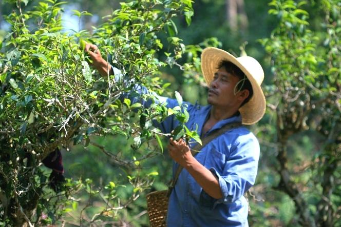 Dans le Yunnan, des théiers semi-sauvages