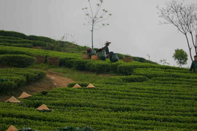 Mais où sont les cueilleurs de thé, sous leur chapeau pointu ?