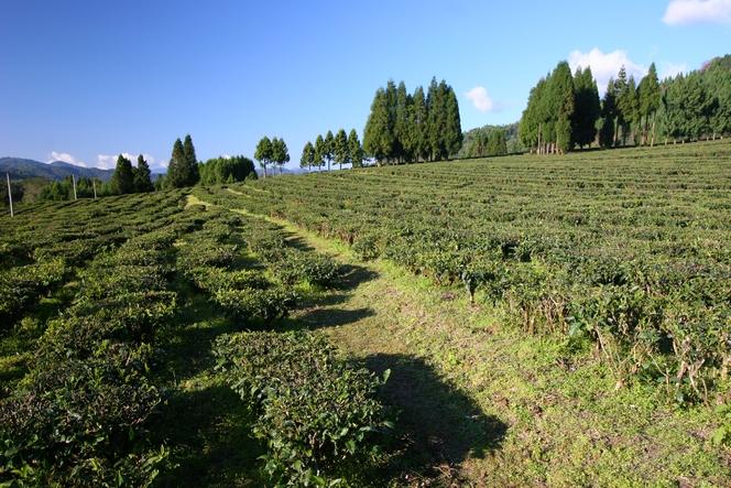 Plantation d'altitude du Yunnan où l'on produit des thés verts.