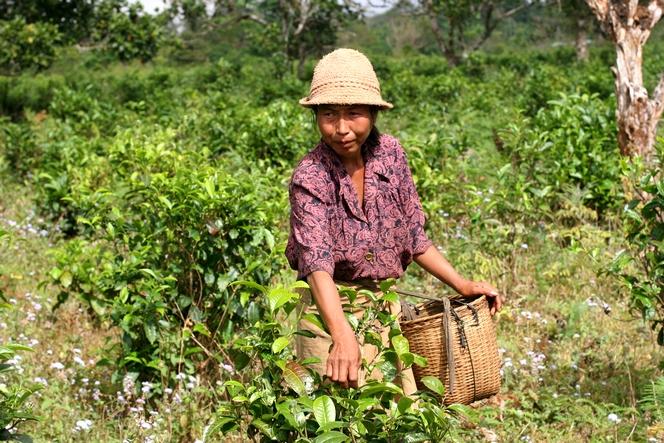 « Bourgeons du Laos » : un grand thé équitable