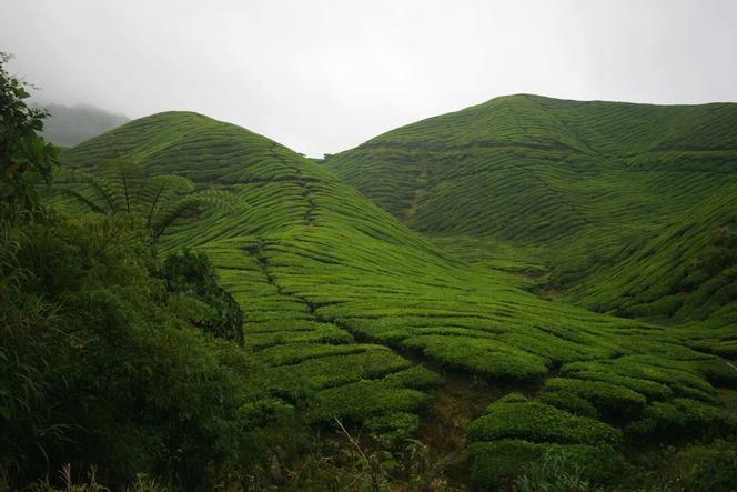 Sungai Palas : la principale plantation de thé malaise