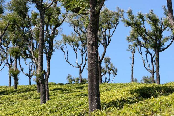 Théiers sous un ciel éclatant à Thiashola (Inde).