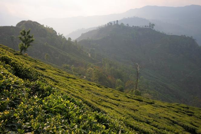 La plantation de Teesta Valley à l'extrême est de Darjeeling.