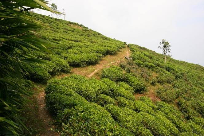 Petit sentier de Darjeeling, à Badamtam.
