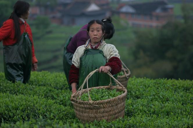 Récolte de thés verts primeurs en Chine.