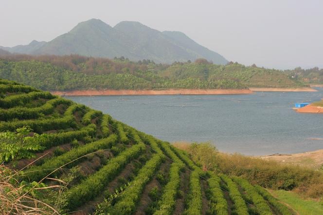 Les meilleurs thés verts de l'Anhui poussent sur cette montagne.