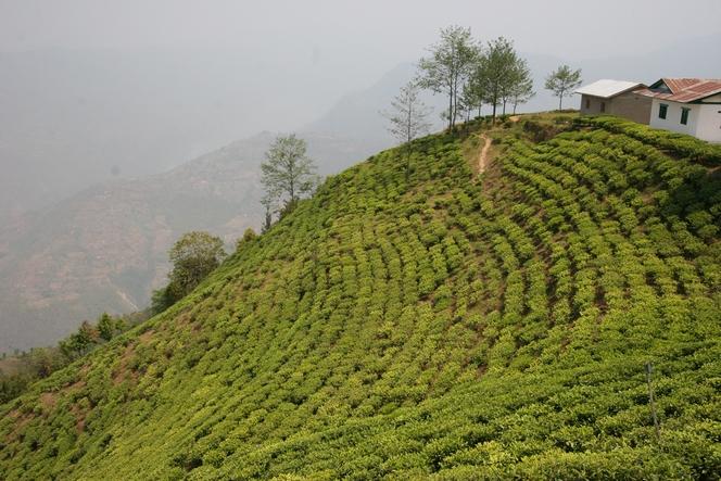 Les meilleurs thés sont souvent produits de mars à mai