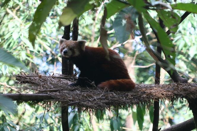 Le panda roux, un animal nocturne de l'Himalaya