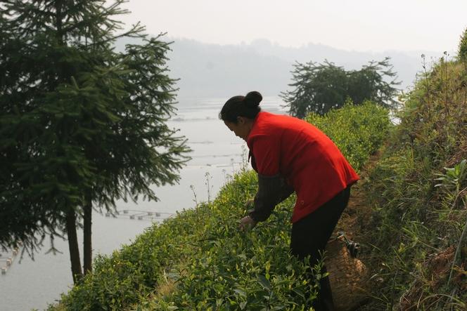 Taiping Hou Kui : un des thés les plus chers de Chine