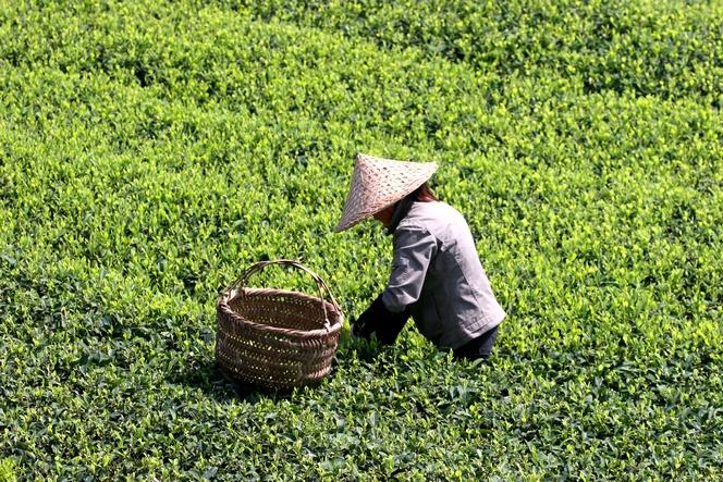 Le thé prêt à être récolté se voit à la couleur des théiers