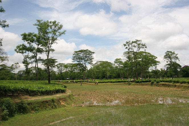 En Assam, les champs de thé jouxtent les rizières