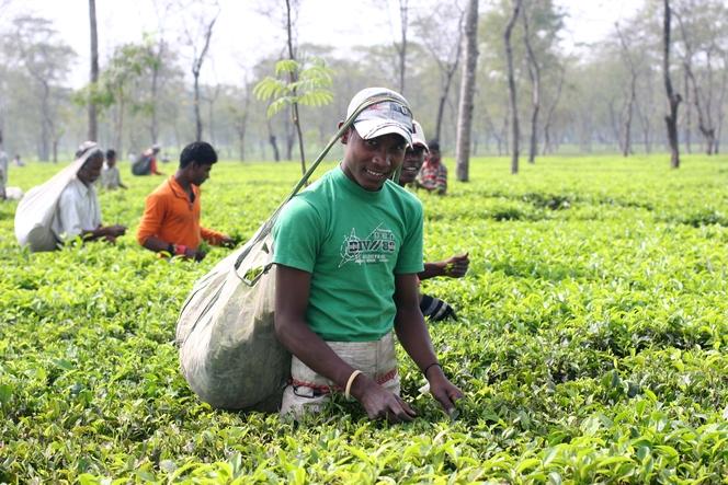 Récolte du thé par les Adivasis en Inde