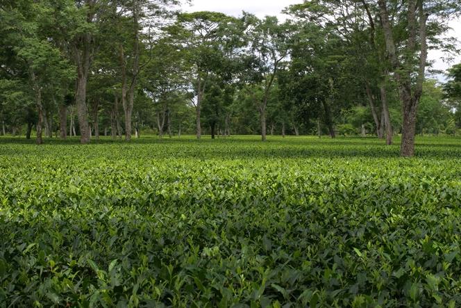 L'Assam, une des régions les plus pluvieuses au monde