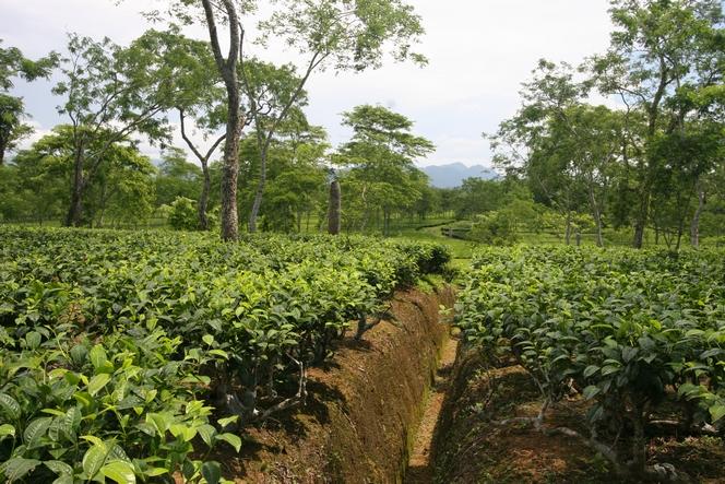 Des tranchées pour drainer l'eau des théiers
