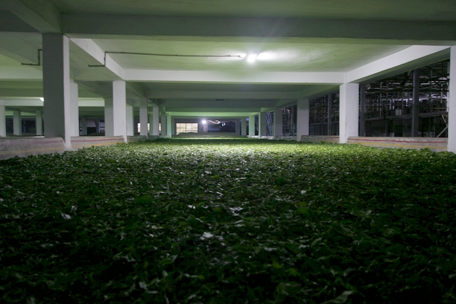 Des feuilles de thé disposées à perte de vue