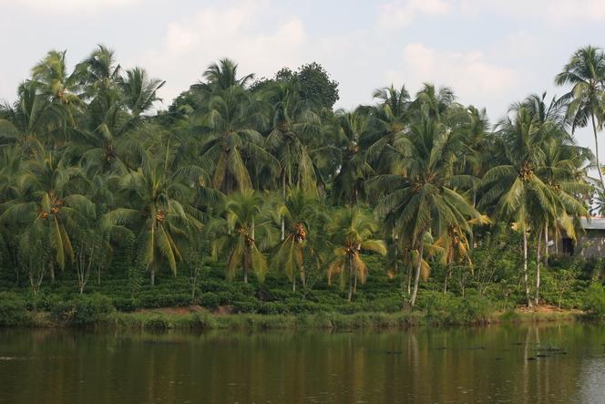 Palmiers servant d'ombrage aux théiers
