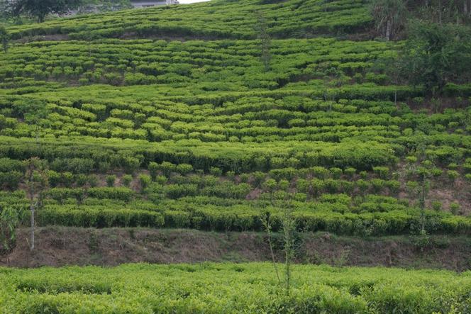 Rangées de théiers fantaisistes à Kuwapani