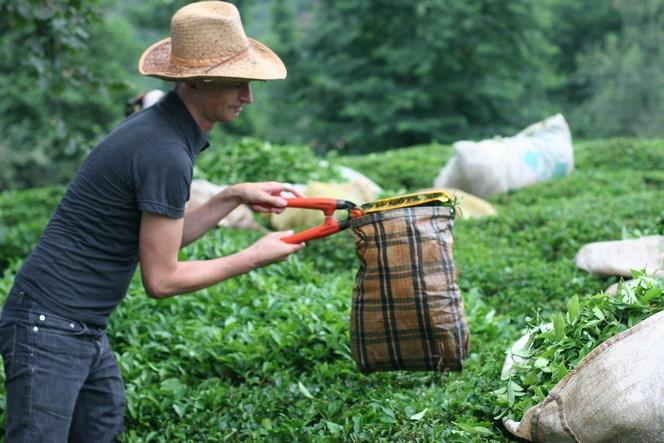 En Turquie, on récolte le thé avec une cisaille