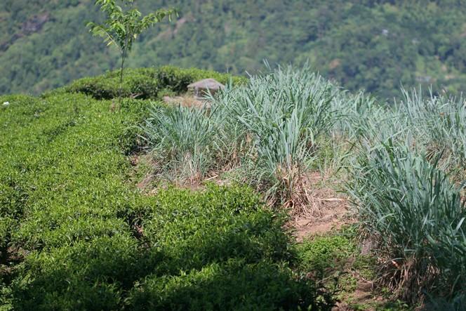 De la citronnelle dans les plantations bio