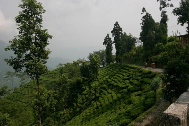 Un air de Noël dans les champs de thé