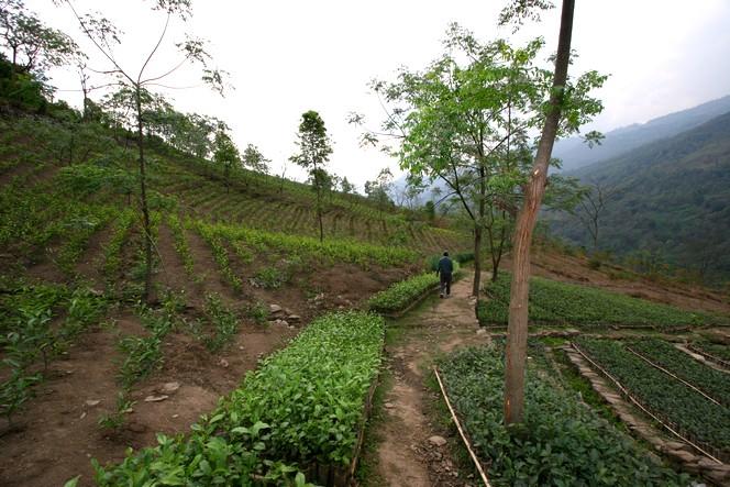 Les champs de thé s'entretiennent aussi l'hiver